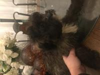 Beautiful Shih poo young adult , 17 month old, females