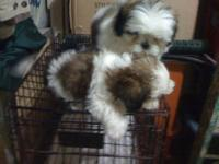 100% FULL BREED ADORABLE SHIH- TZU 1 FEMALE AND 3 MALE