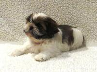 Happy, Healthy, In House Hand Raised Shih-Tzu puppy.