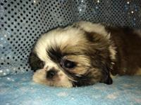 Shih-Tzu Imperial beautiful male puppy for sale. He is
