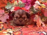 Adorable Shih Tzu Puppies, 2 females still available.