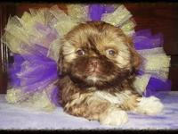 Beautiful shih Tzu babies 10 weeks old up to date on