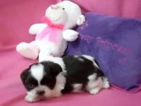 We have a beautiful, litter of Shih Tzu puppies who are