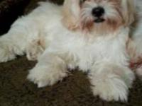 Beautiful 4 month old Shih Tzu puppies ready for their