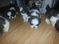 Lovely Shih Tzu young puppies. They make excellent