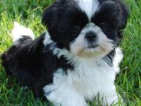 I have 2 male black and white Shih Tzu puppies