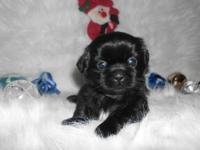 Beautiful, Shih Tzu puppies available for Christmas! We