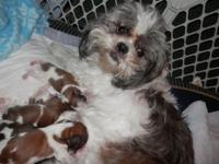 I had a beautiful litter of Shih-tzu puppies born