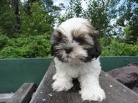 Gorgeous registered Shih Tzu Puppies. They are 8 weeks