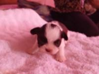 Gorgeous Shih Tzu Puppy...1male....rare color..