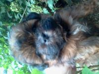 Beautiful shihpoo puppies one black girl two black boys