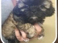 I have 2 adorable female shihtzu babies ready for new