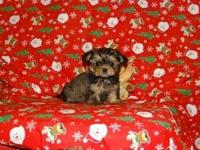 The Shorkies (Shih Tzu & & Yorkshire Terrier mix) are