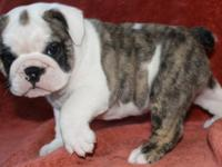 Beautiful AKC English Bulldog Puppies. strong Champion