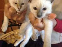 Blue point male @ Lynx- female -Both are siblings- And