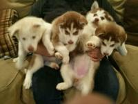 Beautiful Siberian Husky Puppies with blue eyes, very