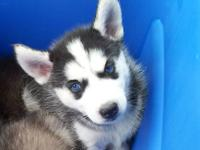 Ckc siberian husky Puppies COMING IN MARCH GET ON THE