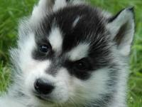 Two Blue Eyes Siberian Husky puppies available..