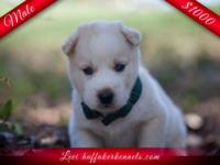 We have four lovely Siberian Husky puppies offered (3