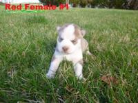 Pure bred Siberian Husky puppies (not registered) 2