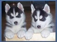 Animal Type: Dogs Breed: Siberian Husky Beautiful