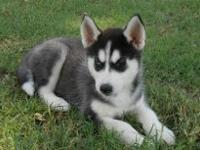 Beautiful Siberian Husky Puppies for sale�.You can