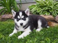 I have 4 out of 5 beautiful Siberian Husky Pups ready