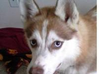 Beautiful full-blooded Siberian Husky female for