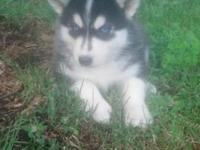 I have Siberian husky pups for sale they have beautiful