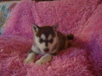 Beautiful Siberian Husky pups for sale 1 Red/White