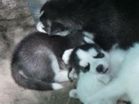 We have gorgeous Siberian Husky pups that will be