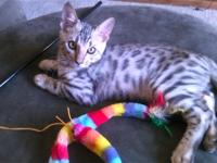 Here is my Beautiful silver male Bengal kitten born on
