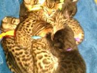 I have four bengal kittens that are all silver and