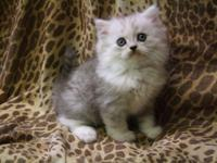 Silver Lynx Ragamuffin kitten for adoption. 8wks old.