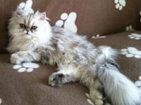 Lily is 9 month old silver persian Kitten. she has