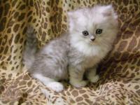 Beautiful 9 week old ragamuffin male kitten for sale.