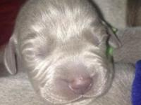 Beautiful, silver Weimaraner puppies for sale!!!