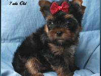 Beautiful AKC small yorkshire terrier baby doll face