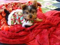 I have a beautiful small black & Tan male Yorkie. He is