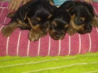 Reserve your xmas yorkie now! 3 males to choose from,
