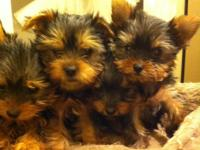 Female and Male Yorkie Puppies All sizes TCup and