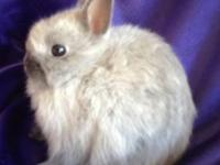 Purebred netherland dwarf he is 8 weeks and a beautiful
