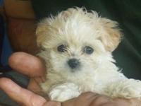 STUNNING Malti-poos for sale. One lady and 4 males. ALL