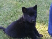 Solid Black pure bred German Shepherd puppies born