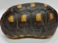 "This is a medium-sized 10.5"" Male Redfoot tortoise that"