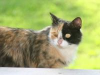 This Beautiful Calico female showed up at my house