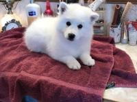 This is a beautiful Standard American Eskimo Puppy. Pic