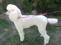 I have a beautiful standard poodle for sale. Bella is 4