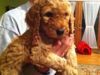 Stunning apricot Standard Poodle young puppies. One