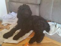 Beautiful Standard Poodle Puppies. Deep rich jet black.